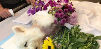 Nugget Dog Death Dr Siew
